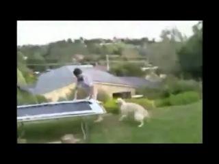 Батут, прыжок, а тут собака!